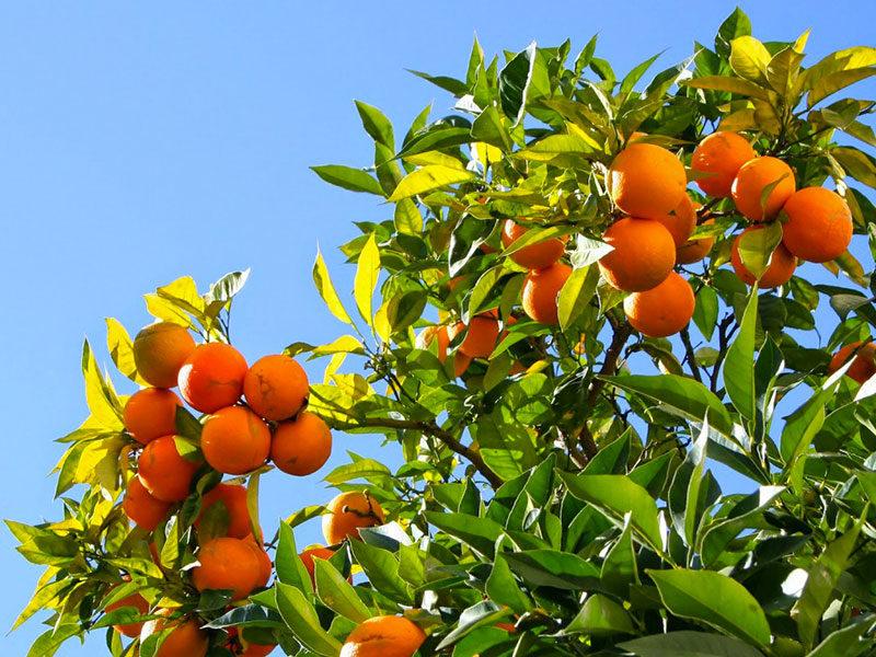 Clémentinier, oranger