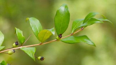 La myrte plante de corse