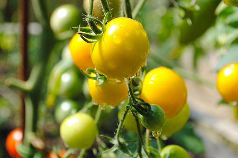 Potager et plants de tomates