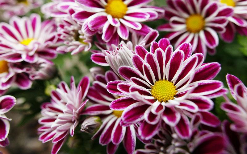 Chrysanthème et mini-chrysanthème pour la toussaint